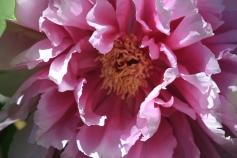 Divine pink