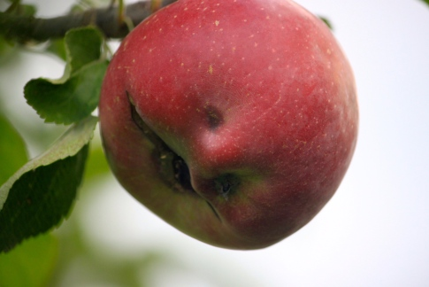Is this apple smiling at me?